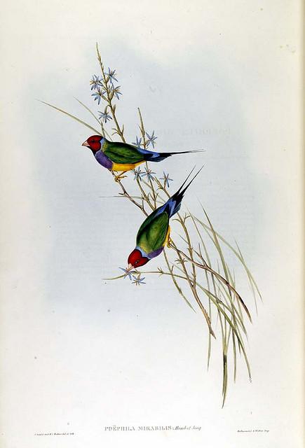 Grass Finch